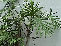 Philodendron_angustisectum_01.jpg