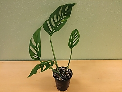 monstera-adansonii-swiss-cheese-plant-3.jpg
