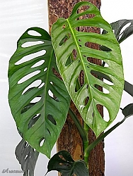 monstera-adansonii-swiss-cheese-plant-4.jpg