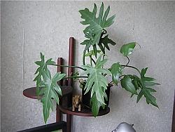 philodendron-radiatum-4-buy-online.jpg