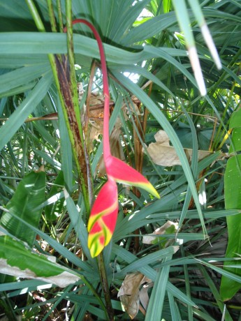 Heliconia Rostata for sale brevard county