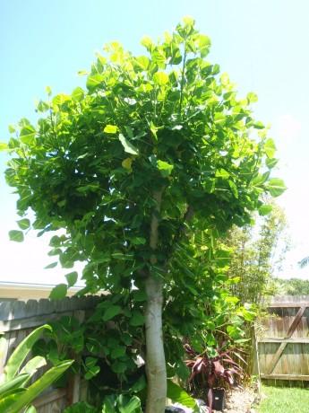 Sunshine Tree Erythrina