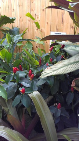 costus ginger red buttons woodsonii brevard melbourne tropical plants nursery