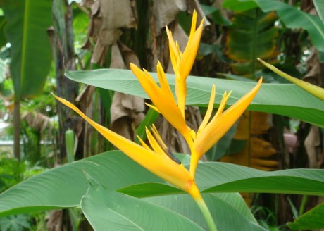 heliconia golden torch melbourne florida brevard county