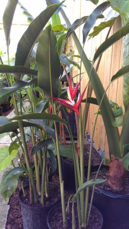 blooming heliconia red christmas