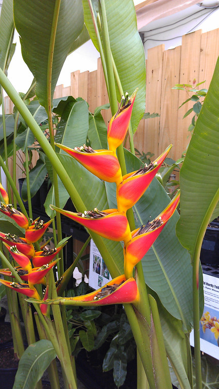 "Heliconia ""Tagami"""