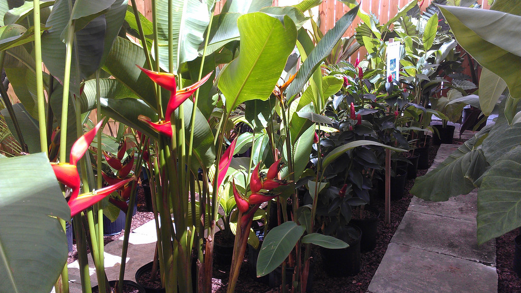New Tropical Plants Inventory At Exotica Tropicals ...