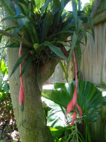 bilbergii windii  cold hardy bromeliad hanging flower