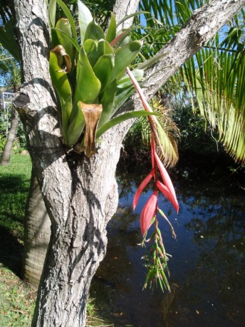 bilbergia windii pink hanging flower in tree