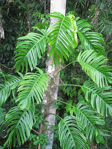 Featured Plant Epipremnum Pinnatum A Great Jungle