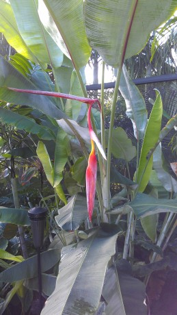 Heliconia Collinsiana Red Pendant hanging bloom