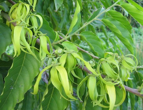 ylang yalng tree flowers fragrant