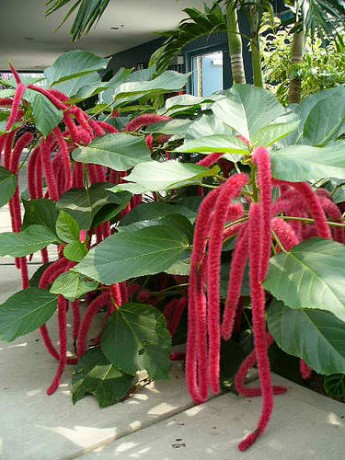 red hot cat tail chenille plant florida brevard nursery