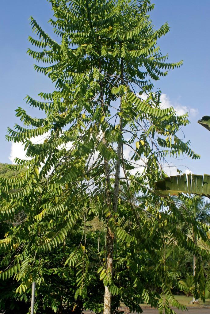 Featured Plant Ylang Ylang Tree Cananga Odorata