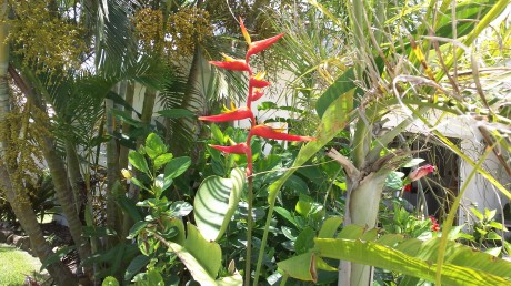 Heliconia Plagiotropa tropical plant nursery in florida