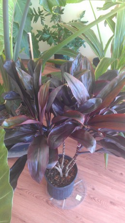'Chocolate' Cordyline (Ti Plant) Dark Black