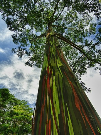 rainbow eucalyptus eucalyptus deglupta tree colored bark florida maui for sale nursery tropical brevard