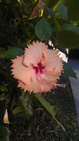 Hawaiian Salmon Hibiscus rare unusual tropical plants nursery melbourne florida brevard indiant river county