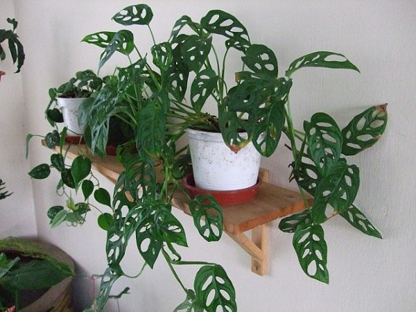 monstera obliqua swiss cheese vine indoor interior tropical plants online shop