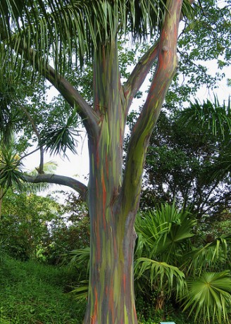 rainbow eucalyptus eucalyptus deglupta brevard florida nursery for sale online shop