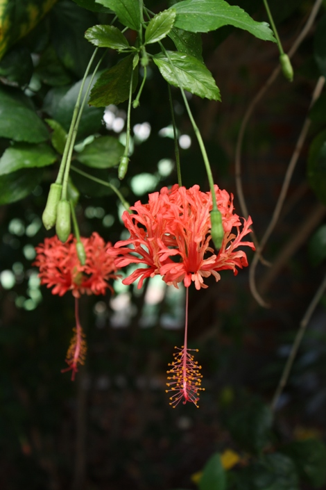 Hibiscus schizopetalus red lantern hanging tropical rare plants nursery florida space coast brevard