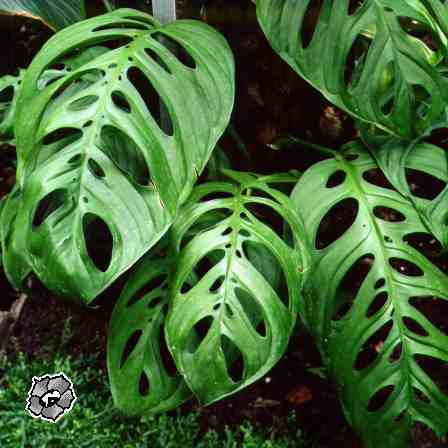 monstera obliqua swiss cheese vine space coast nursery indoor tropical plants florida