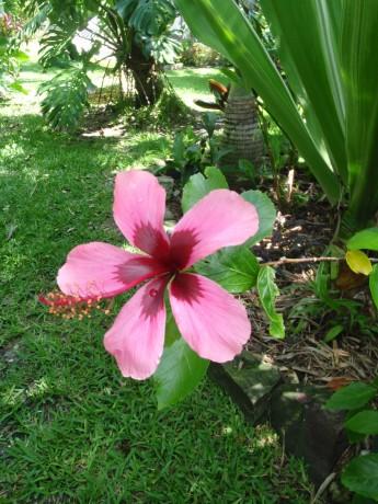 purple hibiscus Fiji Island tropical plants nursery florida online