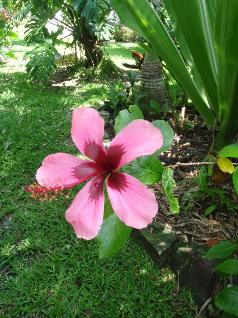 Hibiscus Fiji Island Exotica Tropicals Tropical