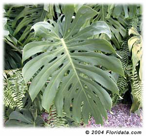 monstera deliciosa swiss cheese plant mexican breadfruit buy online florida nursery brevard
