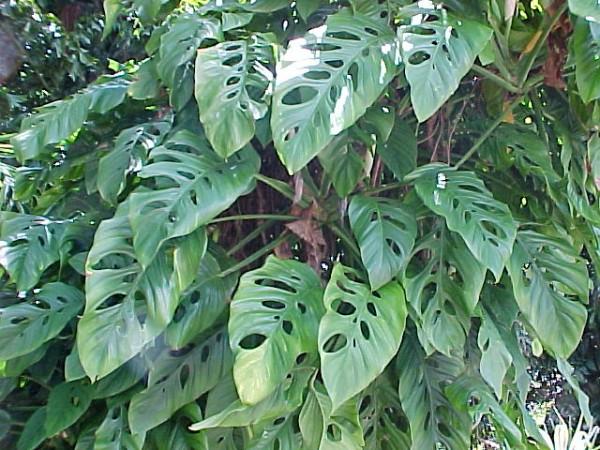 monstera obliqua swiss cheese vine brevard tropical plants nursery florida