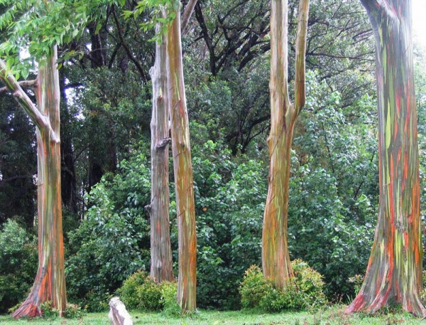 rainbow eucalyptus  eucalyptus deglupta hawaii florida for sale nursery tree tropical plants melbourne