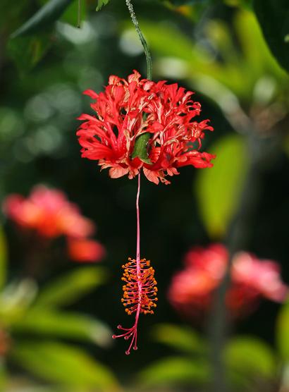 red lantern hibiscus rare chinese japanese plant nursery florida brevard melbourne
