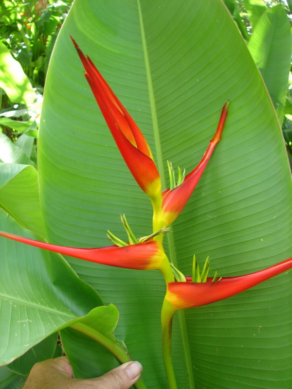 heliconia latispatha red yellow gyro florida tropical plant nursery melbourne brevard county