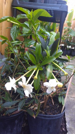 What S In Stock Current Tropical Plants Photos Exotica