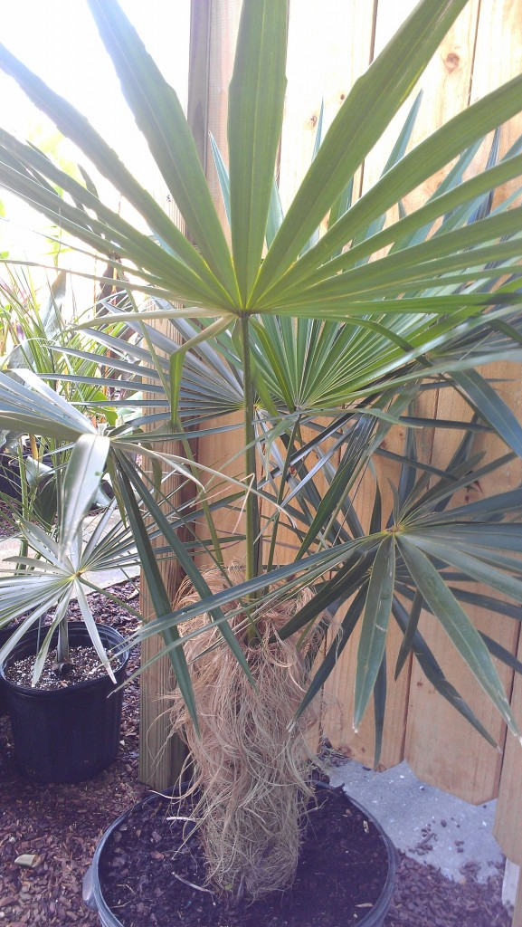 Old Man Palm rare coccothrinax brevard melbourne tropical plants nursery exotic