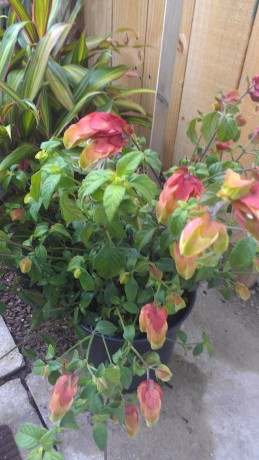 red shrimp plant justicea brevard county indian river tropical plants nursery