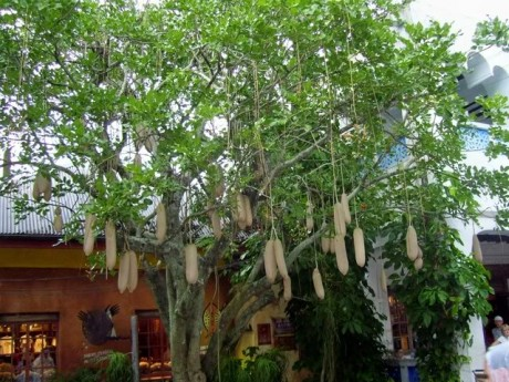 Sausage Tree At Disney's Animal Kingdom Brevard Tropical plants Nursery Melbourne cocoa Beach Vero Satellite