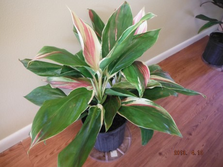 Cordyline Exotica Ti Plant Tropical Plants rare brevard county melbourne beach nursery cocoa vero