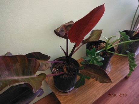 Philodendron McColleys Finale - Red Philodendron Tropical Plants nursery brevard county