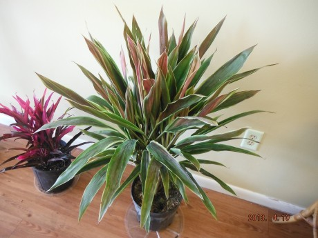 collector rare ti plants houseplants tropical nursery