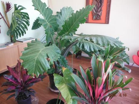 Large Alocasia Portora interior houseplant exterior landcape plant florida