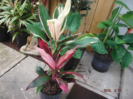 Cocktail Cordyline Ti Plant mix Tropical Plants rare brevard county melbourne beach nursery cocoa vero