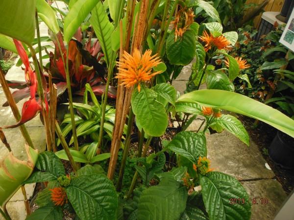 Orange Plume Justicea Sidicarlo tropical plant nursery florida brevard melbourne beach