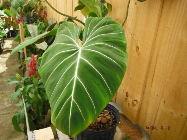 Philodendron Gloriosum  houseplant terrestrial velvet big leaf tropical plant nursery florida melbourne