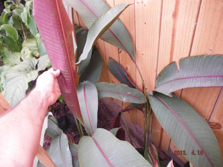 Heliconia Sharonii Tropical Plants rare brevard county melbourne beach nursery cocoa vero