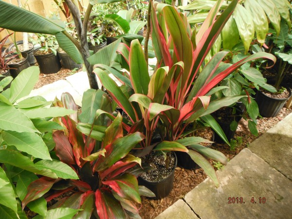 picasso red and hilo rainbow tip plant cordyline fruticosa