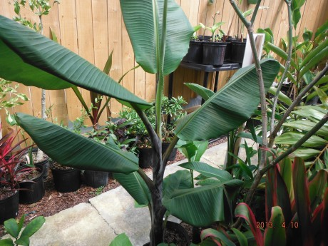 Thai Black Banana For Sale tropical plant nursery interior indoor houseplant outdoor vero beach brevard space coast melbourne beach cocoa satellite florida