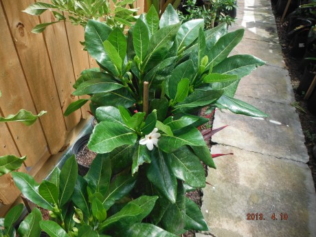 Tahitian Gardenia Gardenia taitensis tiare tropical plants houseplant interior exterior landscape florida brevard melbourne cocoa beach indian harbour beach space coast
