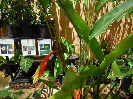 Heliconia Rostrata for sale Florida Brevard County tropical plant nursery