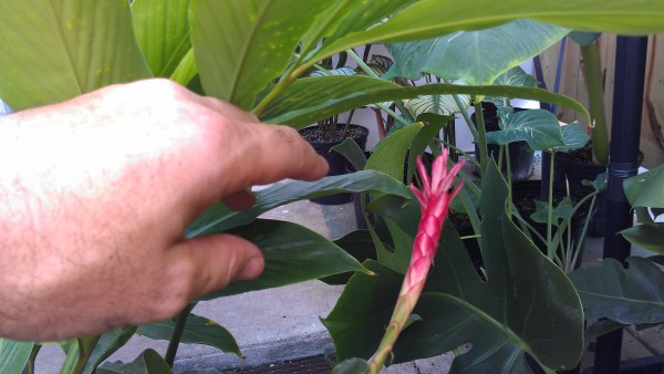 Dwarf Red Alpinia Ginger showing some bloom